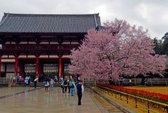 Körsbärsröd blomning på den Todai templet, Nara, Japan Royaltyfri Foto