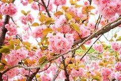 Körsbärsröd blomning, sakura, Royaltyfri Fotografi