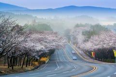 Körsbärsröd blomningsäsong Arkivbilder