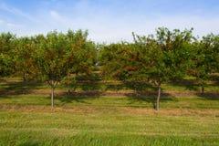 Körsbärsröd fruktträdgård Fotografering för Bildbyråer