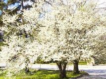 Körsbärsröda träd i blomning Arkivfoton