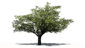 Körsbärsrött träd med skugga Royaltyfria Foton