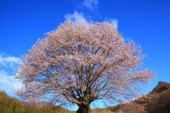 Körsbärsrött träd och blå himmel Royaltyfri Fotografi