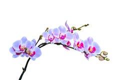 Krucha gałąź wibrujące purpurowe błękitne barwione orchidee Fotografia Stock