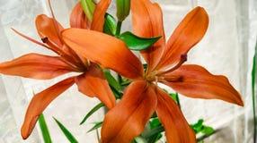 Krucha piękna pomarańczowa leluja varietal hybrydowy LÃlium zdjęcie royalty free