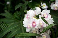 Kruche modlenie aniołów orchidee Zdjęcia Stock
