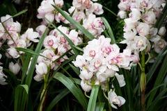 Kruche modlenie aniołów orchidee Obrazy Stock