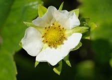 Kruchy biały kwiat truskawka po deszczu Zdjęcia Royalty Free