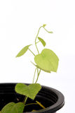Krue mA Noy (nome tailandese), pareira L di Cissampelos varietà hirsuta (Buch ex CC ) albero Immagini Stock