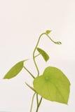 Krue mor Noy (det thailändska namnet), Cissampelos pareira L var hirsuta (Buch före dettaDC ) träd Royaltyfri Bild