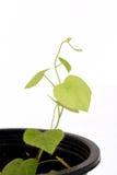 Krue mor Noy (det thailändska namnet), Cissampelos pareira L var hirsuta (Buch före dettaDC ) träd Royaltyfri Fotografi