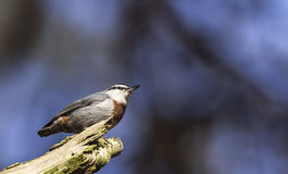 Krueper's Nuthatch on a Tree Branch (Sitta krueperi) Royalty Free Stock Images
