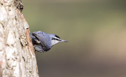 Krueper's Nuthatch on a Tree Trunk (Sitta krueperi) Royalty Free Stock Image