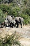 Krugar elefantfamilj Arkivbild