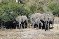 Krugar elefantfamilj Arkivbilder