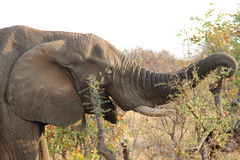 Krugar Elephant Royalty Free Stock Photography