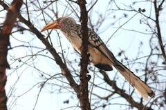 Krugar Hornbill Stock Photo