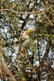Krugar Hornbill Royalty Free Stock Images