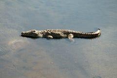 Krugar krokodil Royaltyfri Fotografi
