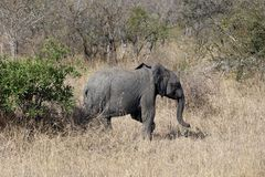 Krugar liten elefant Royaltyfria Foton