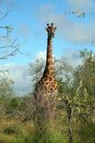 Kruger长颈鹿 免版税库存图片