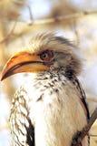 Kruger птицы-носорог Стоковая Фотография