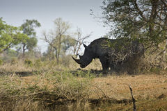 Одичалый белый носорог, национальный парк Kruger, ЮЖНАЯ АФРИКА Стоковая Фотография
