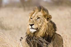Одичалый мужской лев, национальный парк Kruger, Южная Африка Стоковые Изображения RF