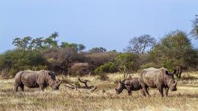Южный белый носорог в национальном парке Kruger, Южной Африке Стоковая Фотография RF