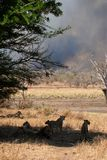 Kruger bushfire. Lions watch anxiously as bush fire rages in Kruger Park Stock Photography
