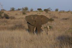 Kruger elefant Royaltyfria Foton