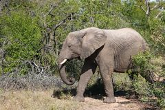 Kruger Elephant. Elephants looking for a water hole in Kruger National Park, South Africa Royalty Free Stock Image