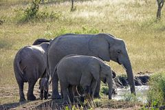Kruger Elephants. Elephants drinking at a water hole in Kruger National Park, South Africa Royalty Free Stock Photos