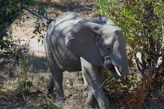 Kruger för afrikansk elefant nationalpark bara i vildmarken Royaltyfri Fotografi