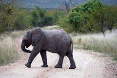 Kruger för afrikansk elefant nationalpark bara i vildmarken Arkivfoto
