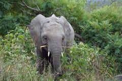 Kruger för afrikansk elefant nationalpark bara i vildmarken Royaltyfri Bild