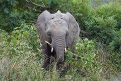 Kruger för afrikansk elefant nationalpark bara i vildmarken Arkivbilder
