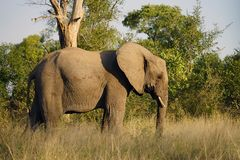 Kruger för afrikansk elefant nationalpark bara i vildmarken Royaltyfri Foto