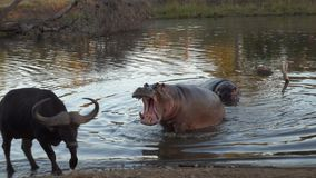 Kruger-Flusspferd-Mund offen Lizenzfreie Stockfotos