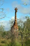 Kruger Giraffe lizenzfreies stockbild
