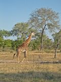 kruger giraffe Стоковые Фотографии RF
