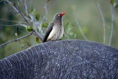 Kruger Guling-fakturerade oxpeckerfågeln fotografering för bildbyråer