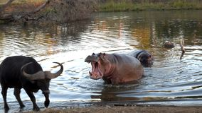 Kruger Hippo. Hippopotamus trying to chase water buffalo away from it`s watering hole Royalty Free Stock Photos