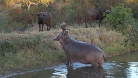 Kruger Hippo Mouth Open. Hippopotamus trying to chase water buffalo away from it`s watering hole Royalty Free Stock Images