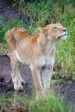 Kruger lejon royaltyfri foto