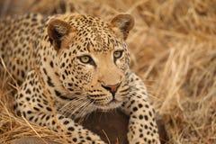 kruger leopard εθνικό πάρκο Στοκ φωτογραφία με δικαίωμα ελεύθερης χρήσης