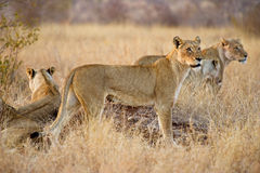 Kruger Lionesses Stock Photography