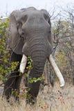 Kruger Monster-Elefant Lizenzfreie Stockbilder