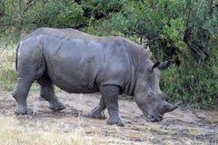 Kruger-Nashorn lizenzfreie stockbilder