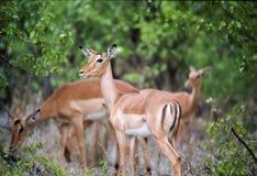 Kruger Nationaal Park, Zuid-Afrika royalty-vrije stock fotografie